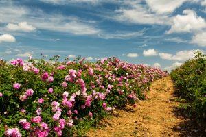 بوتههای گل محمدی