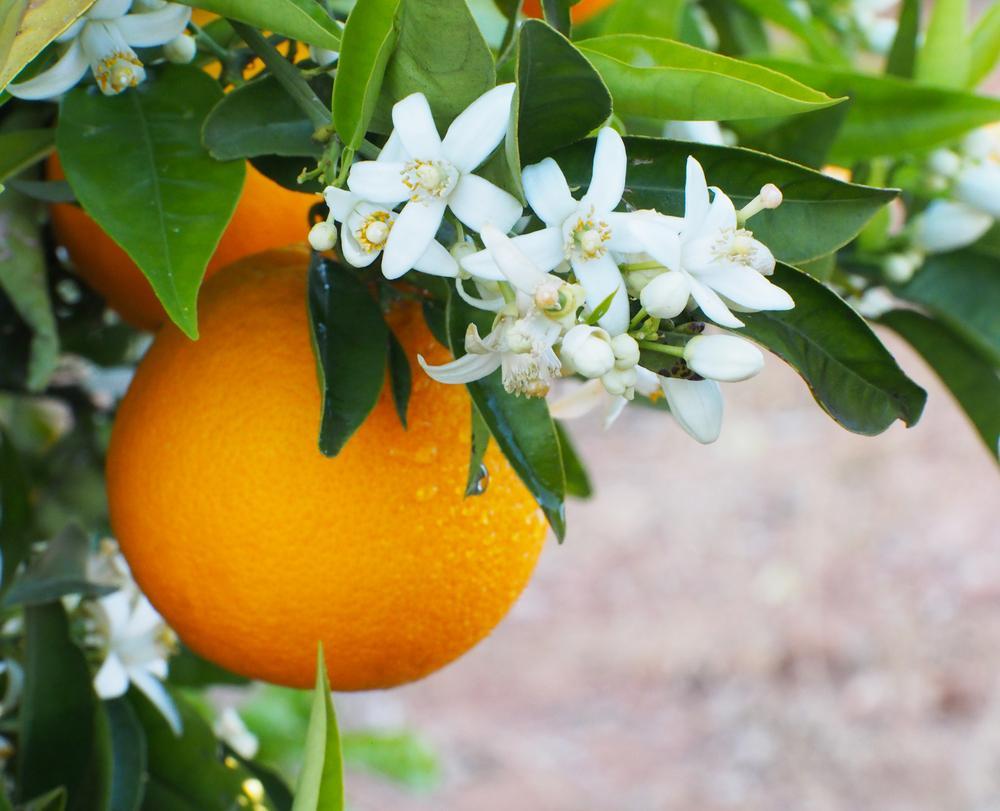 خواص عرق بهار نارنج چیست؟