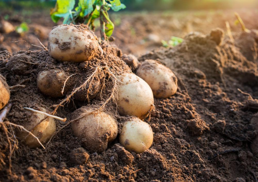 ارزش غذایی و کالری سیب زمینی