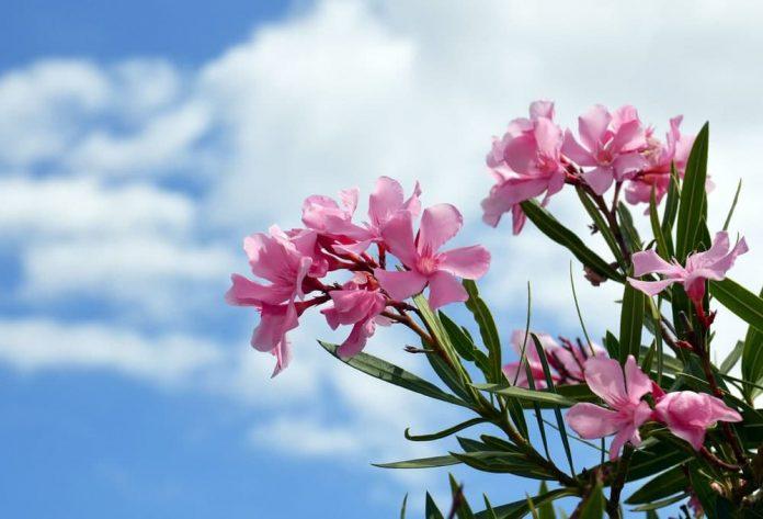 گل خرزهره