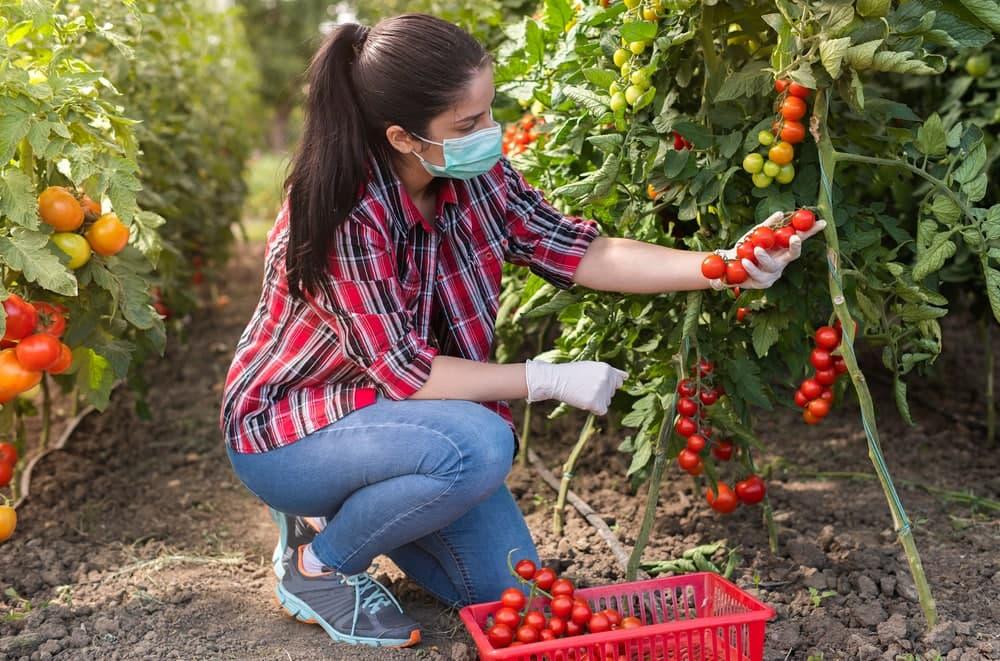 خواص گوجه فرنگی برای بهداشت دهان و دندان